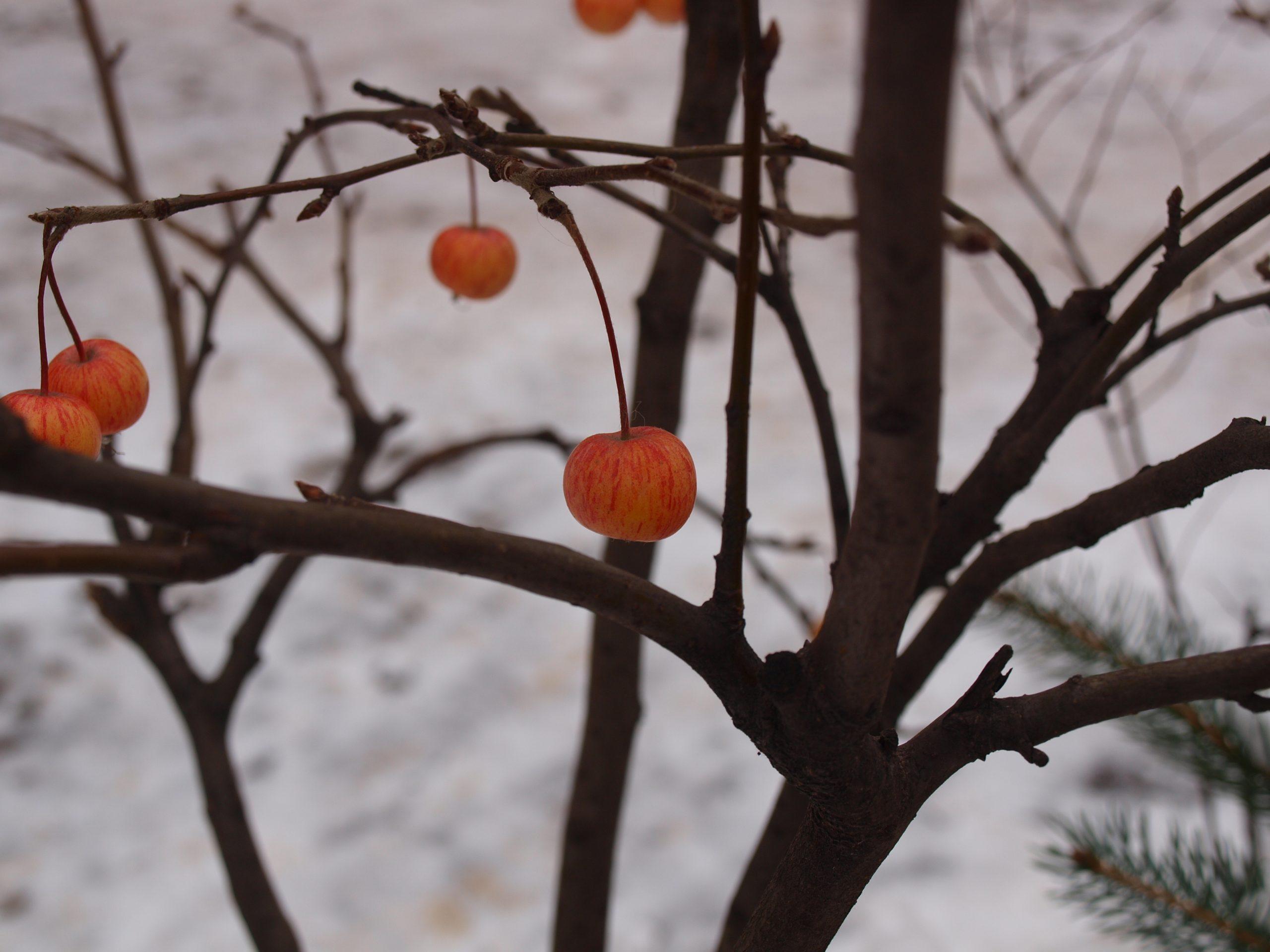 Äpfelchen | © Anne Seubert